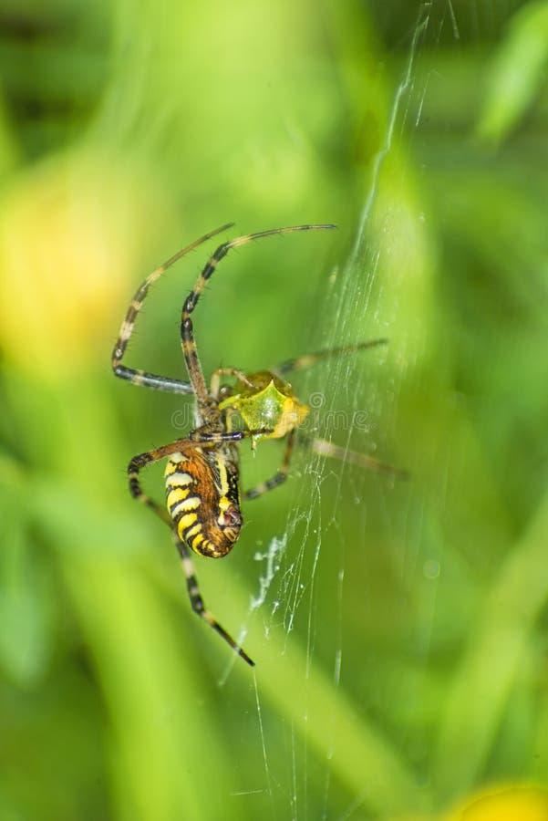 Araña de la avispa, bruennichi del Argiope imagen de archivo libre de regalías