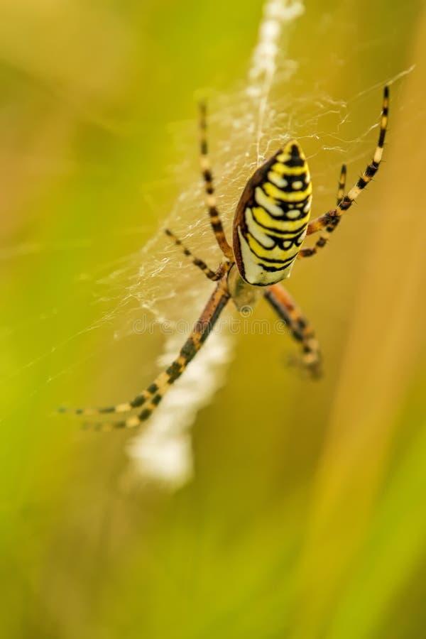 Araña de la avispa, bruennichi del Argiope, femenino fotos de archivo libres de regalías