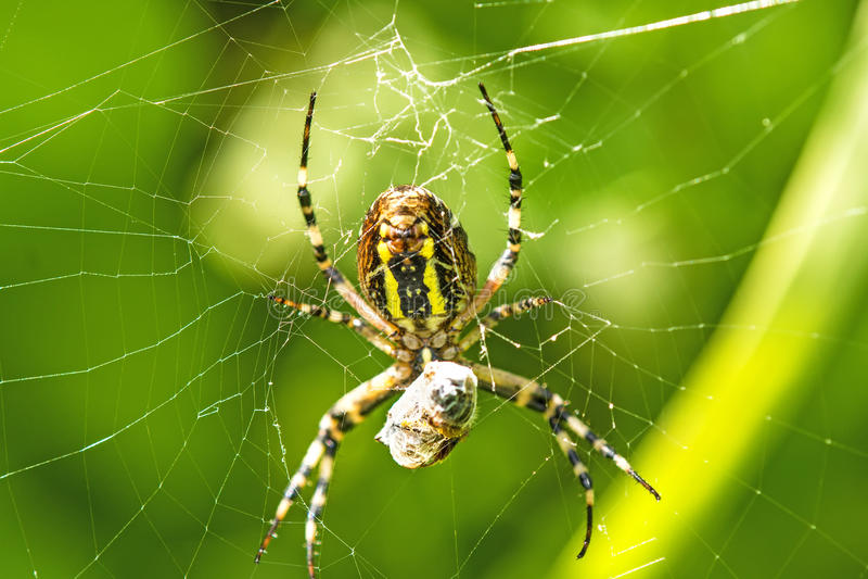 Araña de la avispa con la víctima envuelta fotografía de archivo libre de regalías