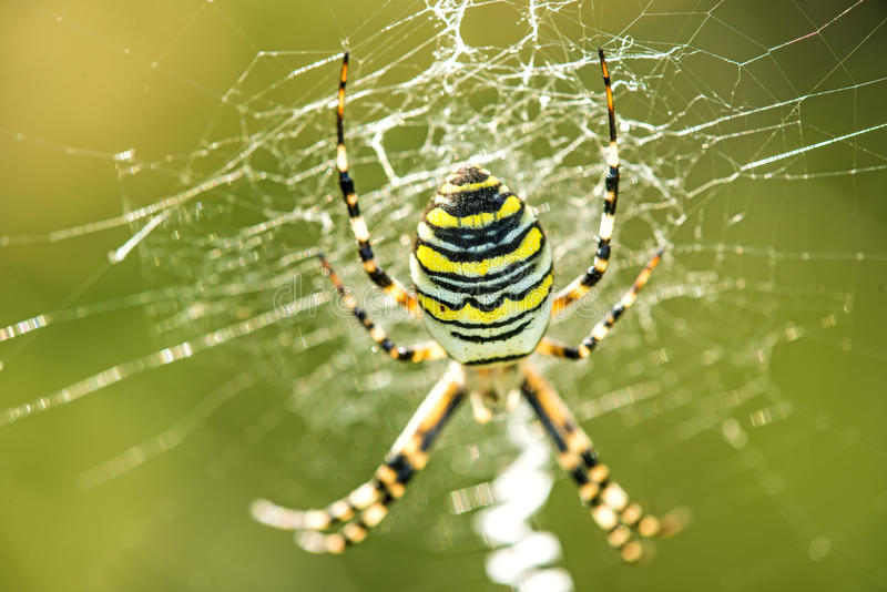 Araña de la avispa en su web fotografía de archivo