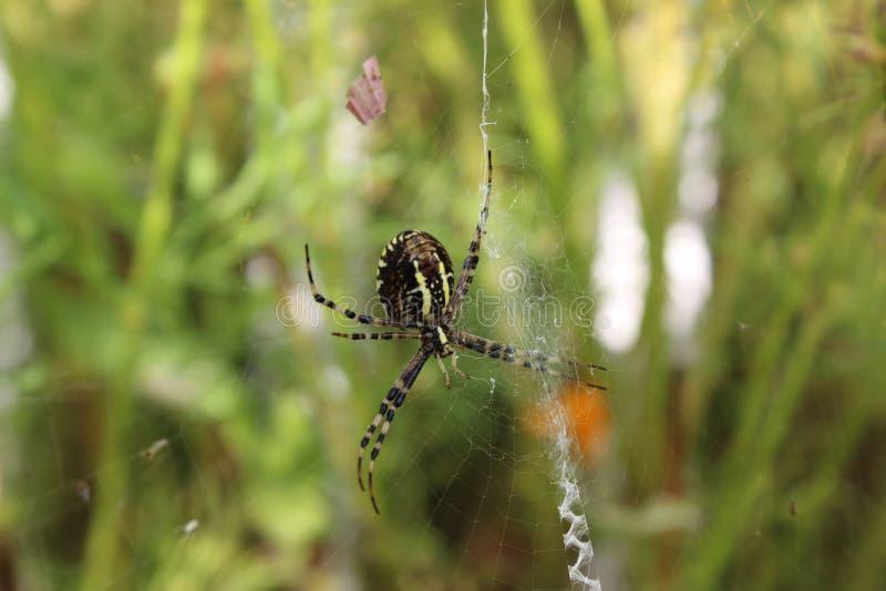 Araña de la avispa en web foto de archivo