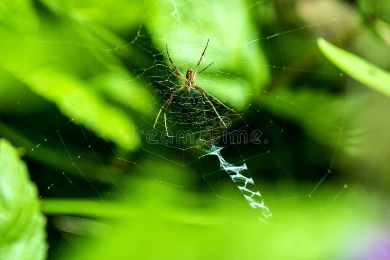 Araña de la avispa, araña masculina en su web imagen de archivo