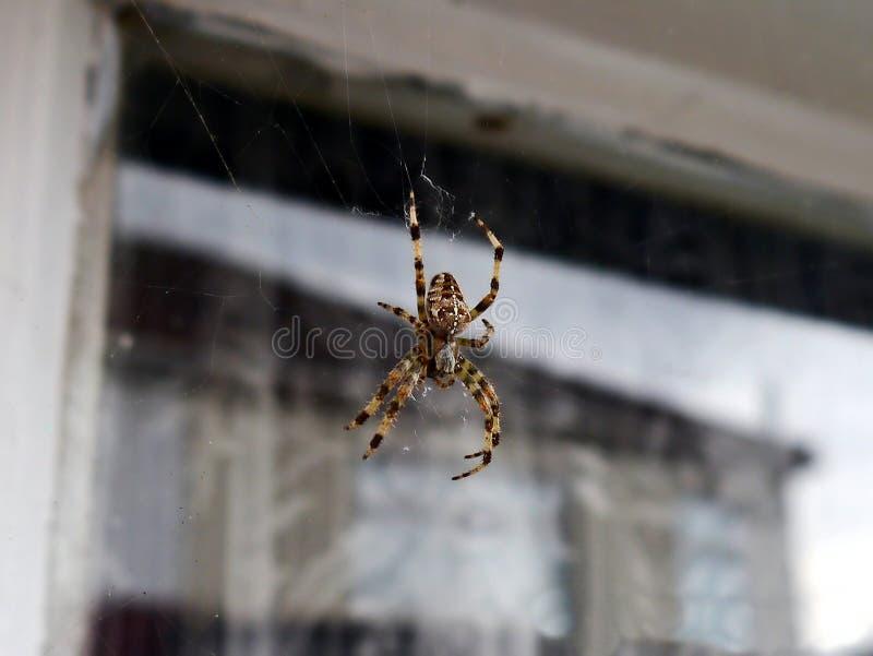 Araña de la cebra imagenes de archivo