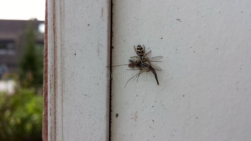 Araña de la cebra en la caza fotos de archivo libres de regalías