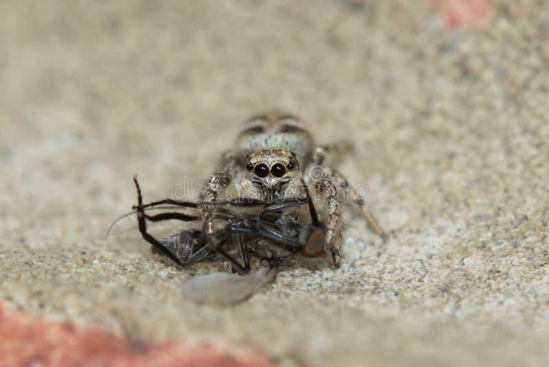 Araña de la cebra (scenicus de Salticus) con la presa fotografía de archivo libre de regalías