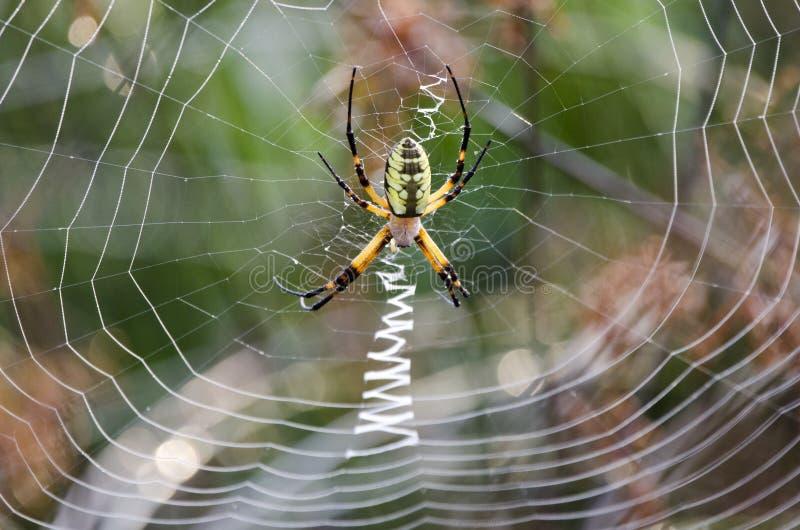 Araña de la cremallera del jardín del amarillo del web de araña fotografía de archivo libre de regalías
