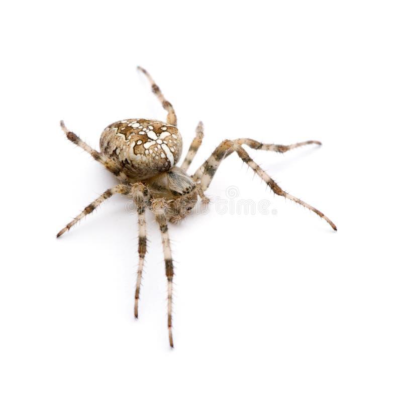 Araña de la diadema - diadematus del Araneus imagen de archivo libre de regalías
