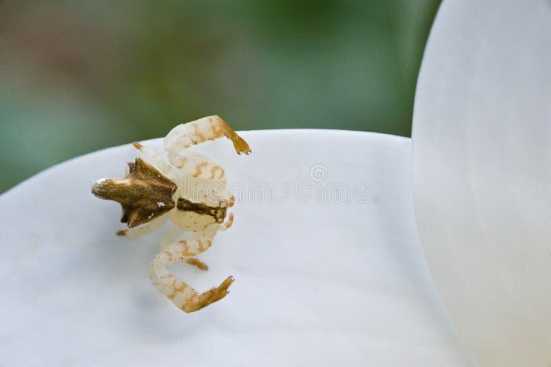 Araña de la familia de Thomisidae conocida como género Epica de la araña del cangrejo fotografía de archivo libre de regalías
