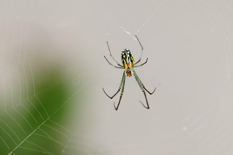 Araña de la huerta de Venusta foto de archivo