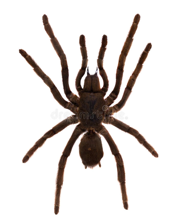 Araña de la tarántula. Aislado sobre blanco foto de archivo