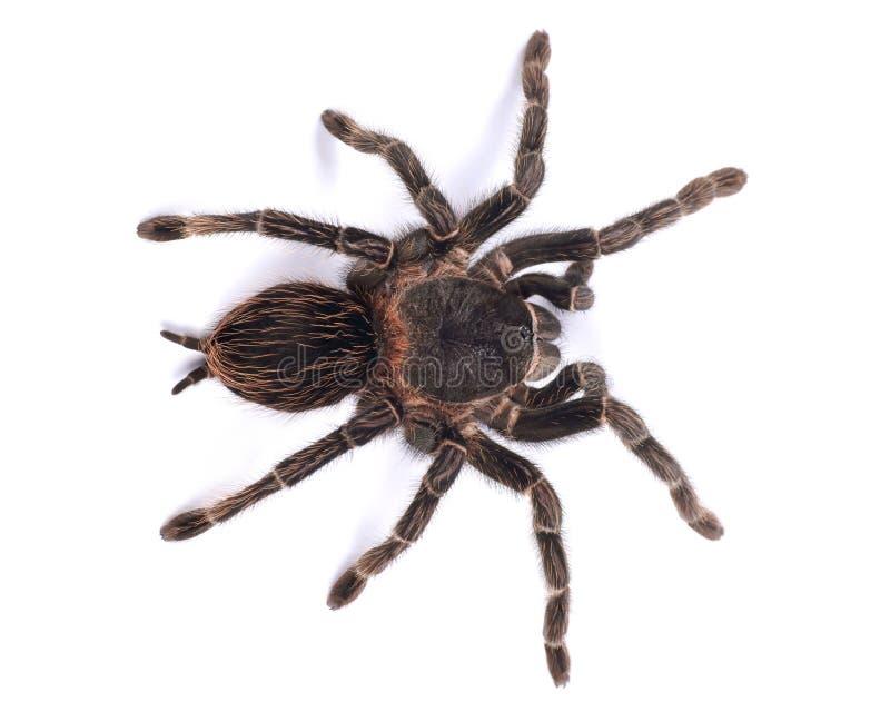 Araña de la tarántula, parahybana femenino de Lasiodora foto de archivo libre de regalías