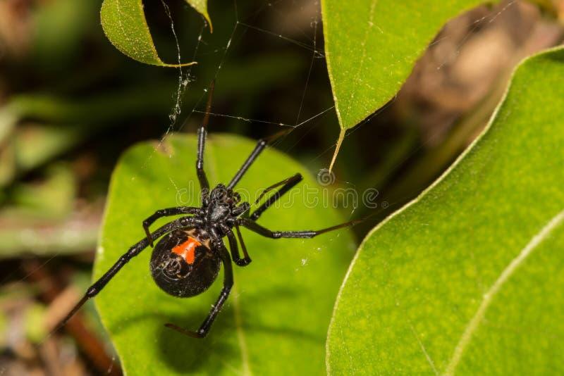Araña de la viuda negra foto de archivo