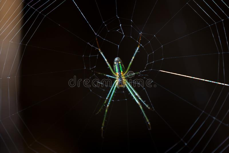 Araña de Leucauge, tejedor largo-jawed del orbe con color verde en su web imagen de archivo libre de regalías