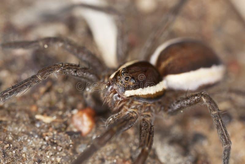 Araña de lobo en la tierra. foto de archivo