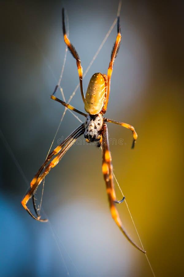 Araña de oro del hilandero del orbe fotografía de archivo
