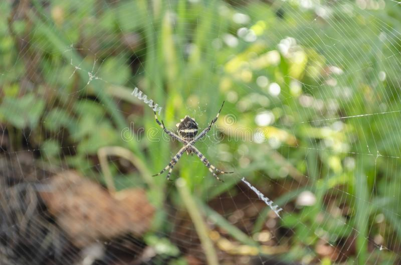 Araña de plata del Argiope en web imágenes de archivo libres de regalías
