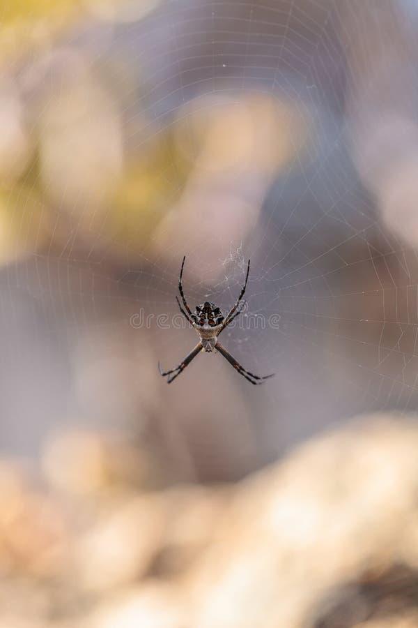 Araña de plata del argiope llamada un argentata del Argiope foto de archivo