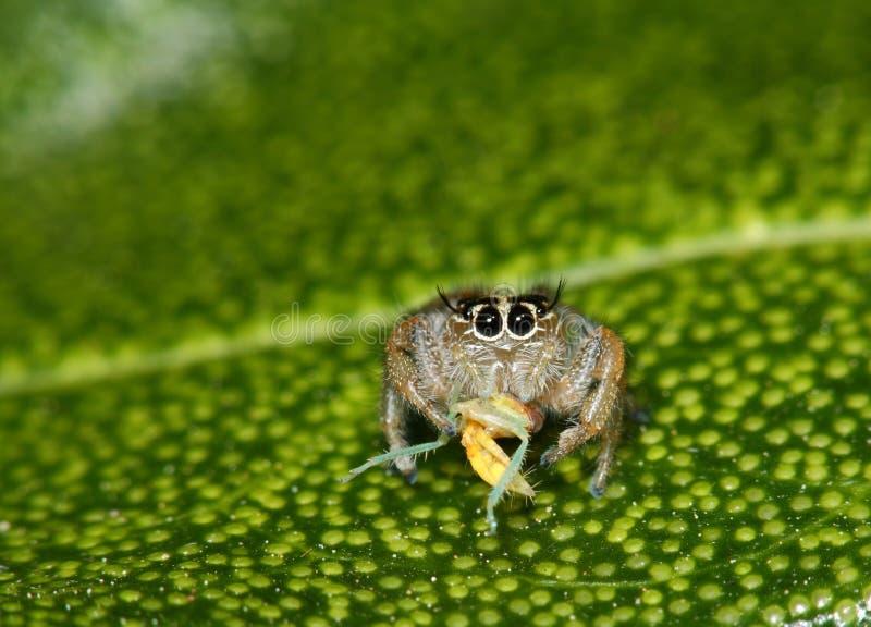 Araña de salto anaranjada de Suráfrica imagen de archivo libre de regalías