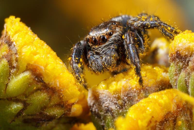 Araña de salto con polen de las explosiones en los brotes de flores amarillos agradables, brillantes fotos de archivo