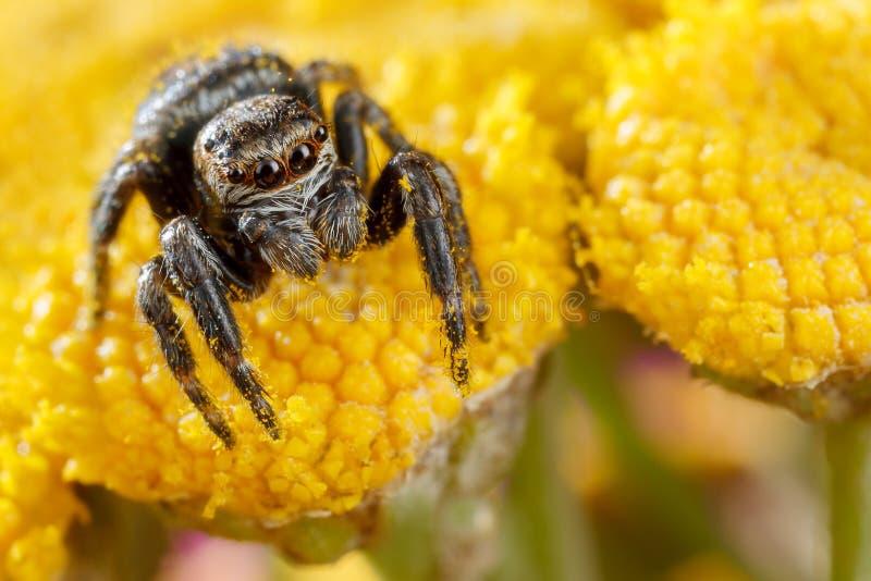 Araña de salto con polen de las explosiones en los brotes de flores amarillos agradables, brillantes imágenes de archivo libres de regalías
