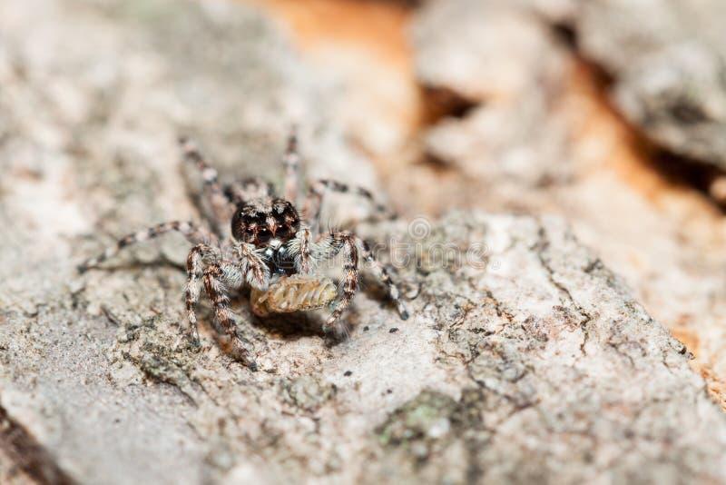 Araña de salto del bivittatus de Menemerus foto de archivo
