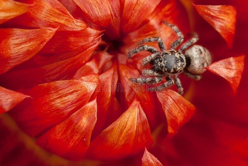 Araña de salto en la flor seca roja foto de archivo