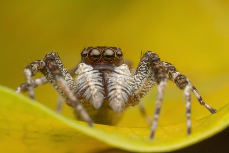 Araña de salto en la hoja amarilla fotos de archivo