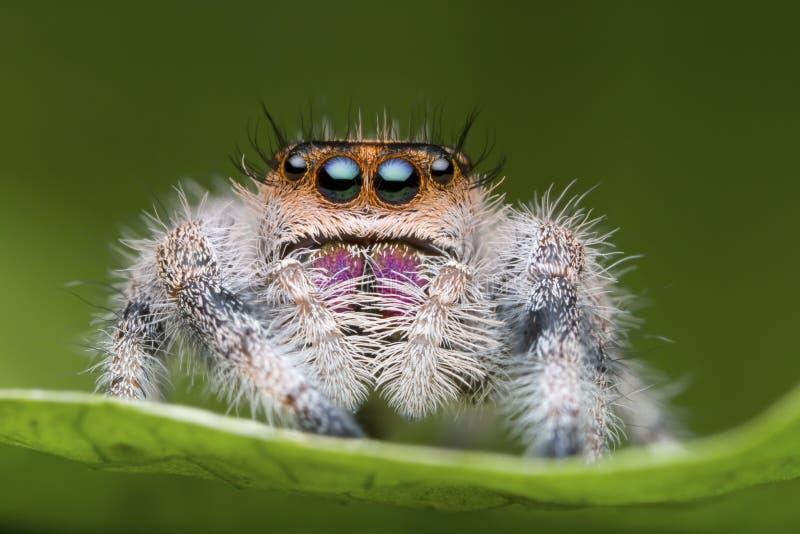 Araña de salto en la hoja verde en naturaleza fotos de archivo