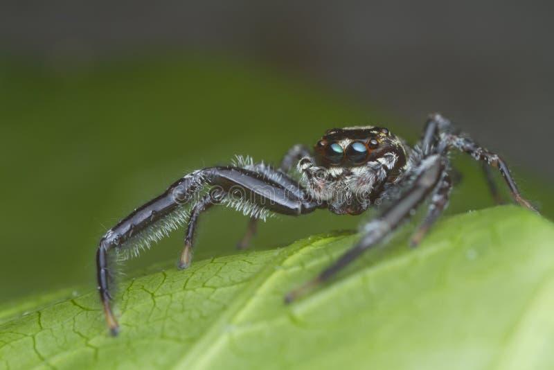 Araña de salto en la hoja verde en naturaleza imagenes de archivo