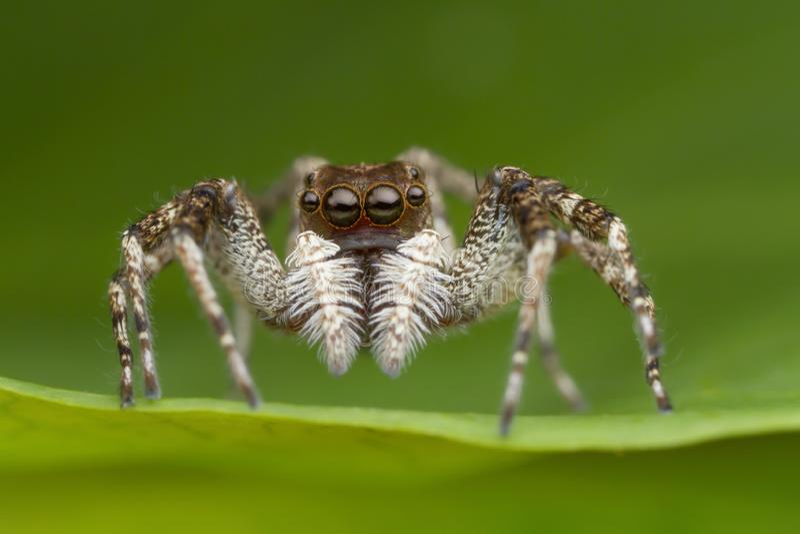 Araña de salto en la hoja verde en naturaleza foto de archivo libre de regalías