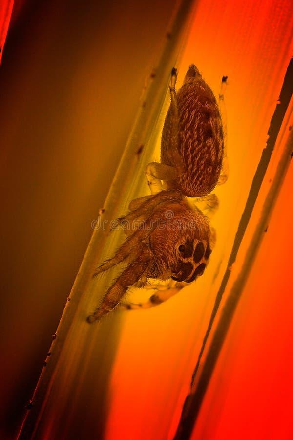 Araña de salto en una hoja imagen de archivo