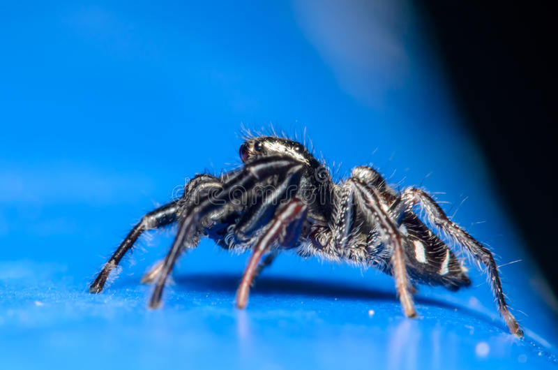 Download Araña de salto negra foto de archivo. Imagen de insecto - 41915634