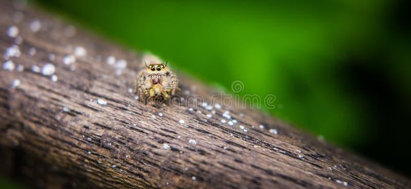 Araña de salto Salticidae imágenes de archivo libres de regalías