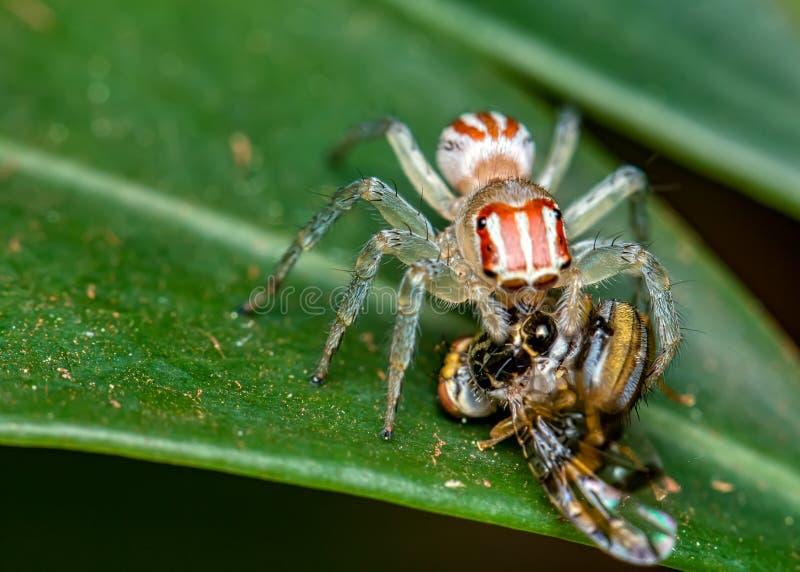 Araña de salto, Salticidae, en la hoja con la mosca en sus colmillos, fotografía macra de la naturaleza fotografía de archivo