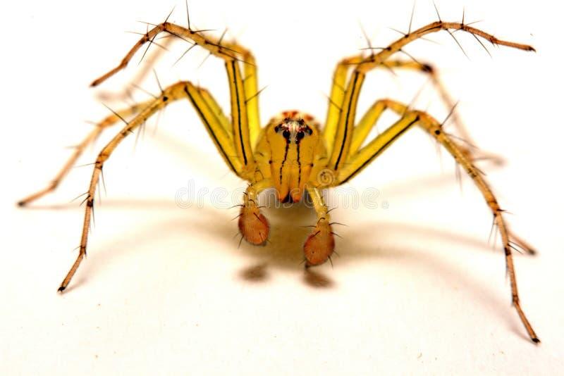 Araña de salto Un cierre para arriba de una araña de salto foto de archivo libre de regalías