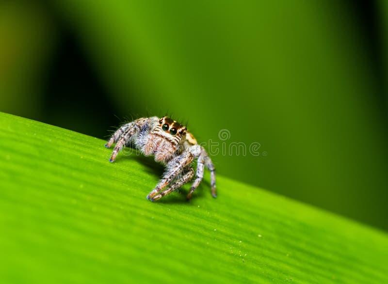 Araña de salto y x28; Semicupreus& x29 de Hyllus; para presa que espera en la hoja verde imagen de archivo