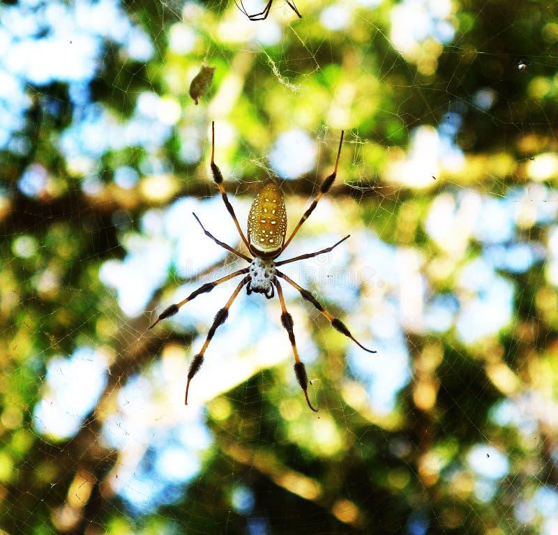 Araña de seda de oro foto de archivo libre de regalías