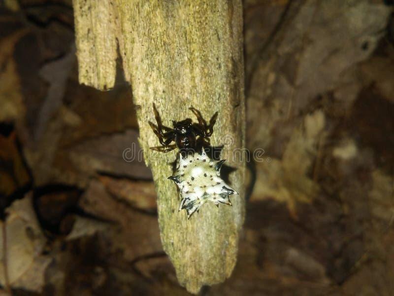 Araña de Spined Micrathena imagen de archivo