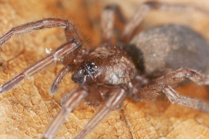 Araña De Tierra Cautelosa (Gnaphosidae) Foto de archivo