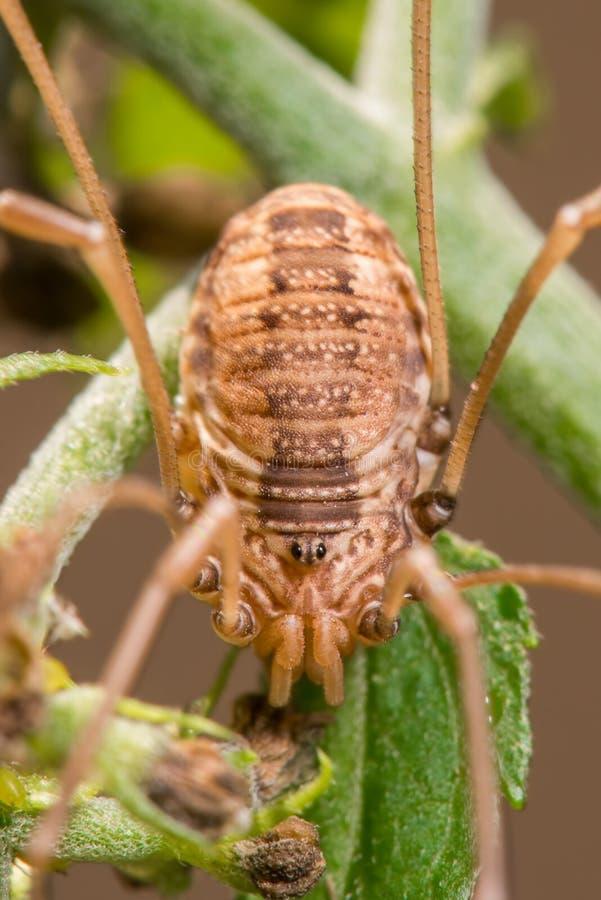 Araña del arácnido del segador aunque no realmente una especie de la araña en Theodore Wirth Park en Minnesota imágenes de archivo libres de regalías
