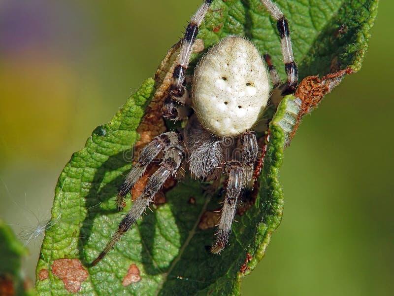 Araña del Argiopidae de la familia. imagen de archivo libre de regalías