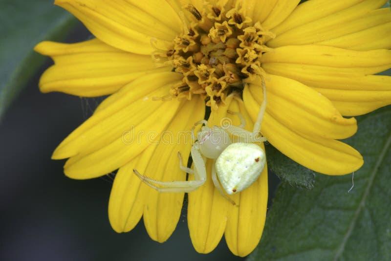 Araña del cangrejo fotografía de archivo libre de regalías
