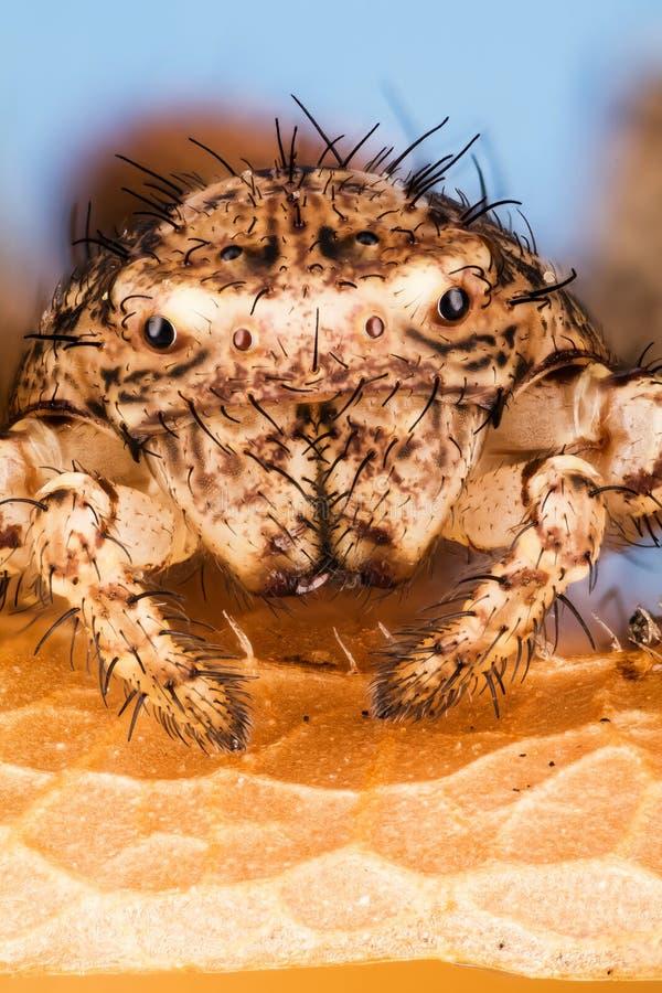 Araña del cangrejo común, araña del cangrejo, araña, cristatus de Xysticus fotos de archivo