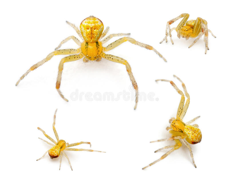 Araña del cangrejo, tricuspidata de Ebrechtella foto de archivo libre de regalías