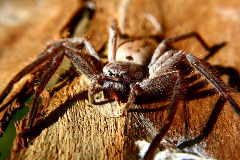 Araña del Huntsman imagen de archivo libre de regalías