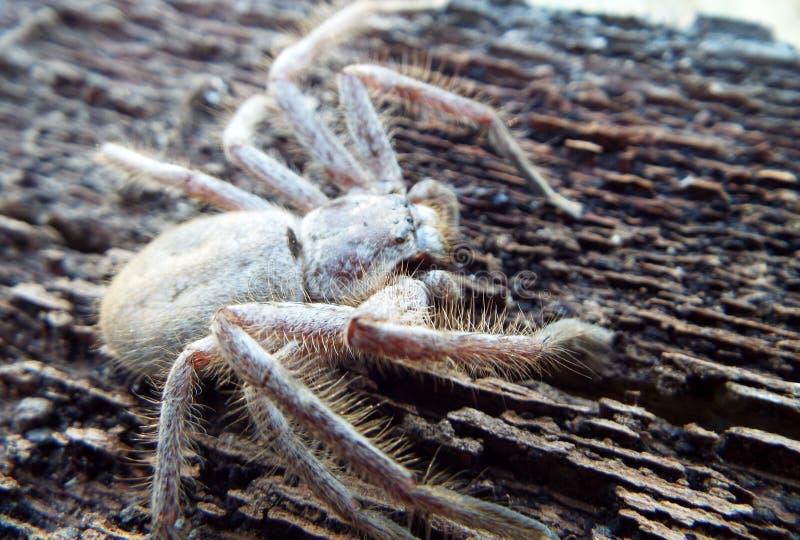Araña del Huntsman foto de archivo libre de regalías
