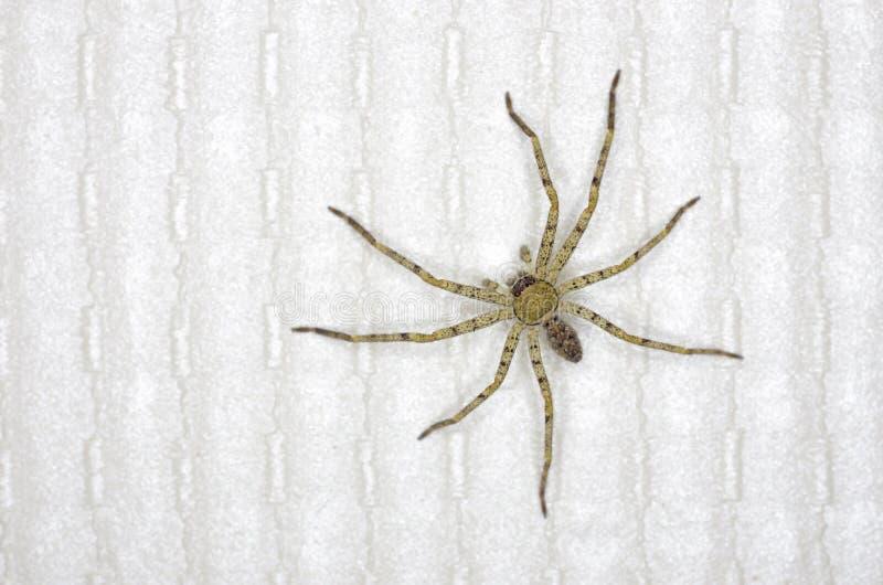 Araña del Huntsman en hogar imagen de archivo