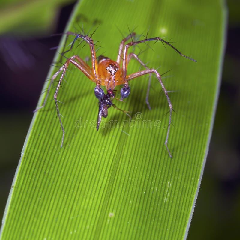Araña del lince que introduce en una presa foto de archivo