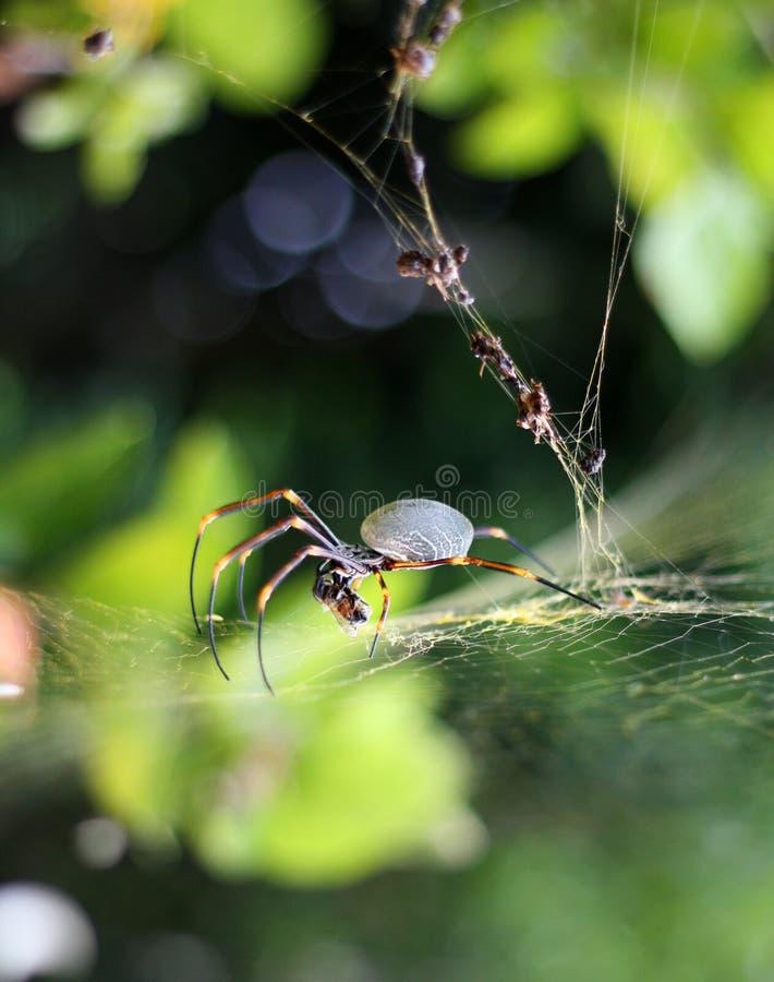 Araña del orbe en su web de oro imagenes de archivo