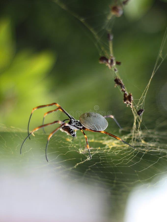 Araña del orbe y su web de oro fotografía de archivo libre de regalías